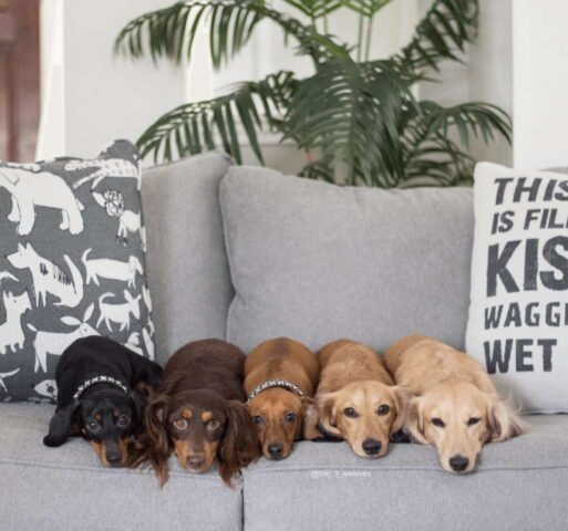 Five dogs resting on Fusion Furniture sofa