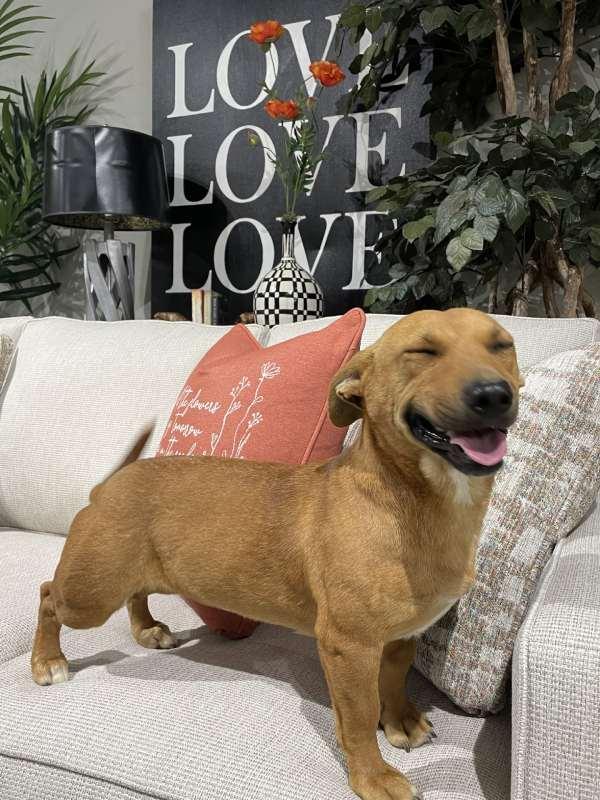 Rescue dog enjoying a Fusion Furniture sofa